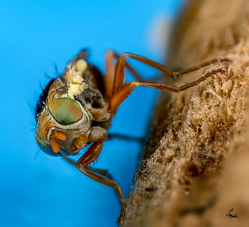 Thistle Gall Fly