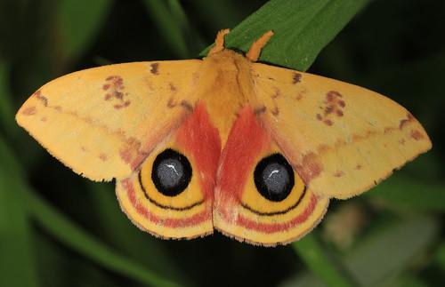 Io Moth - Automeris io, Patuxent National Wildlife Refuge, Laurel, Maryland