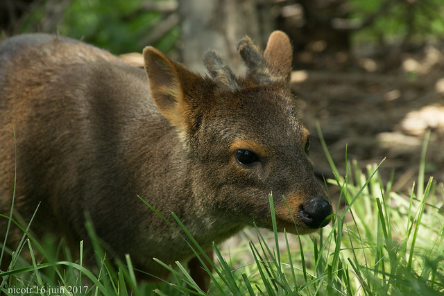 Pudu on the trail
