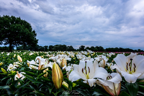Lily field3   by walter.roost