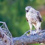 Cooper's Hawk (Accipiter cooperii) Eating