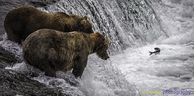 Bears: