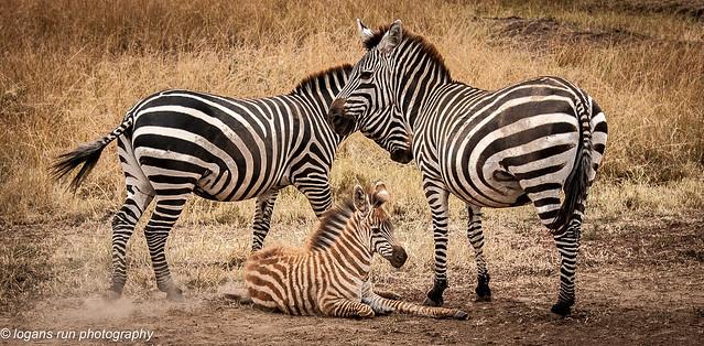 Portrait of a Zebra Family