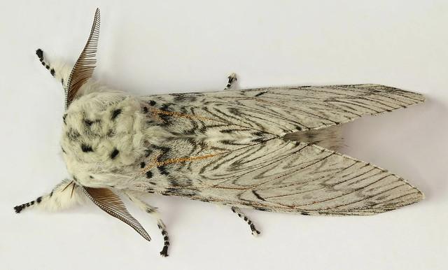 Cerura vinula, Puss Moth, Trawscoed, North Wales, June 2017 2