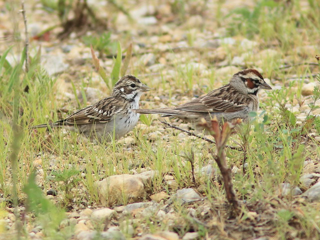 Lark Sparrow juvenile and adult 01-20170710