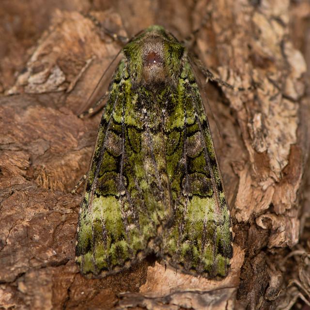 Green arches (Anaplectoides prasina) moth