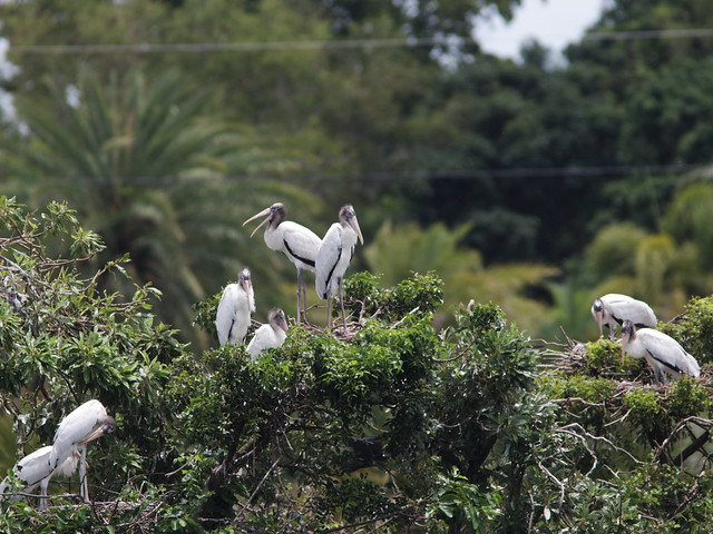 Wood Stork fledglings and nestlings 01-20170612