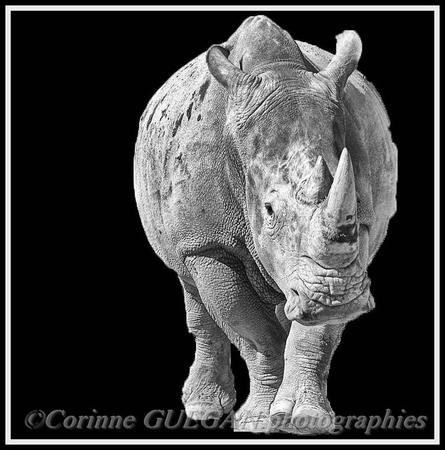 PORTRAIT B&W rhinoceros