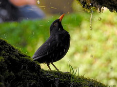 Blackbird taking a shower in a fountain