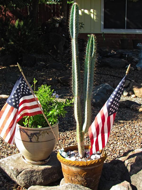 Patriotic cactus