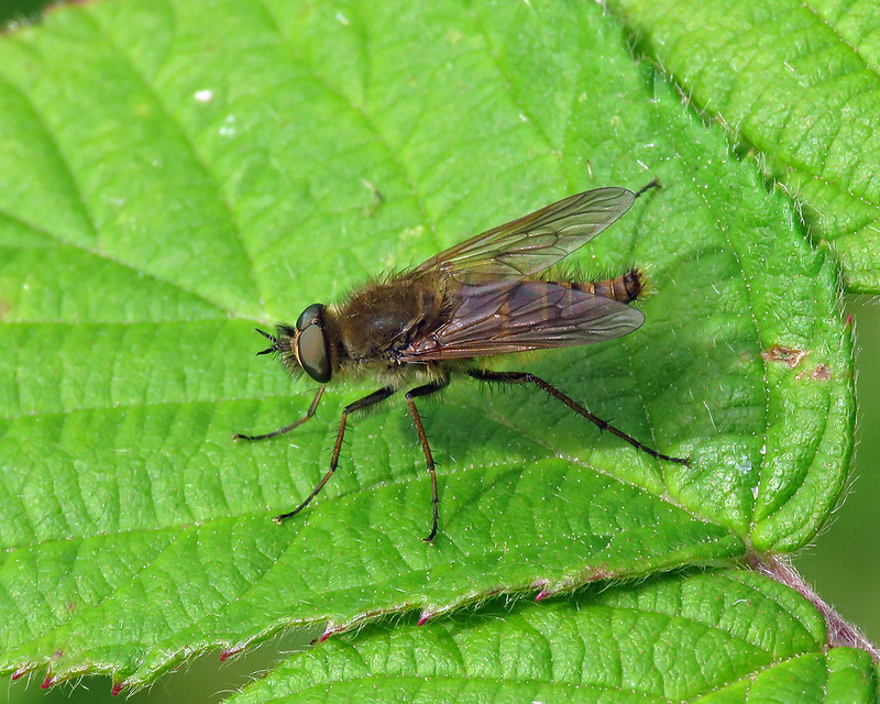 Common Stiletto - Thereva nobilitata