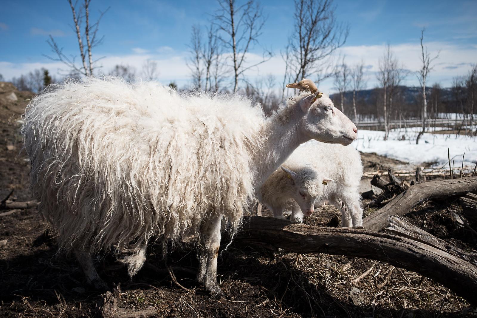 Lille My med lammet sitt på Olaåsen Gård i pinsen