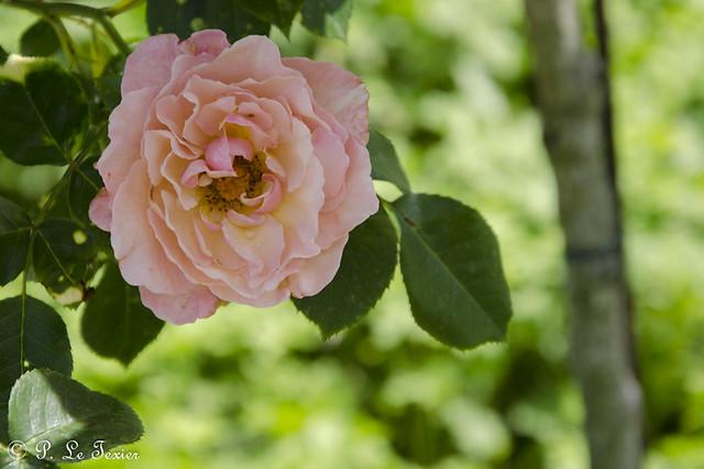 Chédigny festival des roses 10