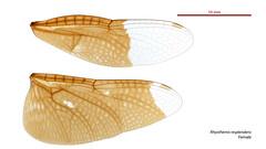 Rhyothemis resplendens female wings