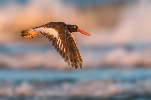 wildlife water wings beach color oystercatcher sunset americanoystercatcher bif bird nature ocean haematopuspalliatus birdinflight stoneharborpoint shore stoneharbor newjersey unitedstates us nikon d500