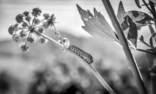 caterpillar (papilio machaon), 2017 | by franzj