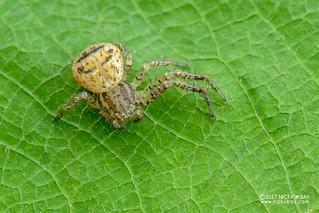 Crab spider (cf. Pycnaxis sp.) - DSC_5568