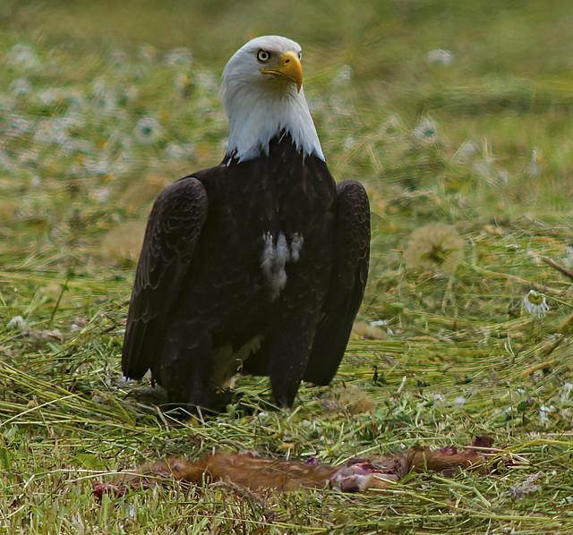 Bald Eagle Fast Food