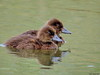 Tufted ducklings by Corine Bliek