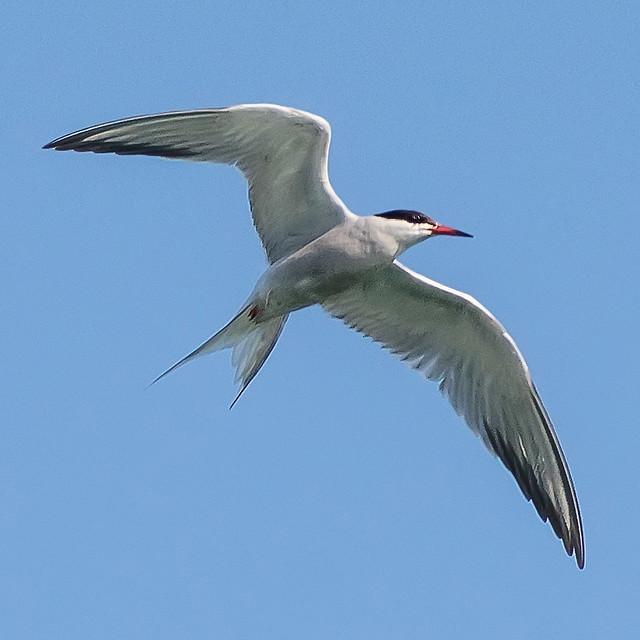 Arctic tern flying high...