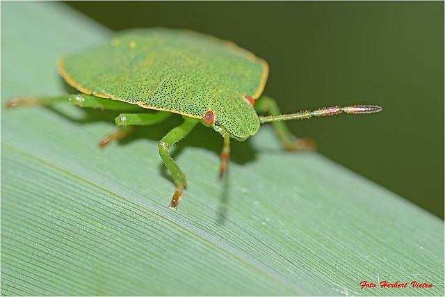 Die Grüne Stinkwanze - Palomena prasina