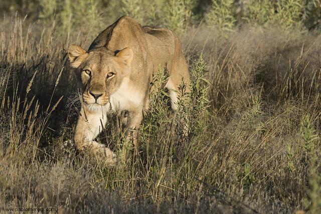 Lioness - www.paolomeroni.com