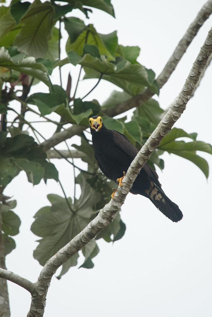 Black Caracara (Daptrius ater)