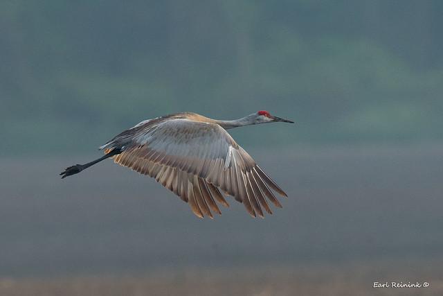 Sandhill Crane - early morning