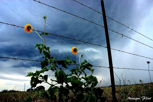 texasthunderstorms texas storm therebeastormabrewin weather weatherphotography flowers green blue clouds ominous nature landscape fence
