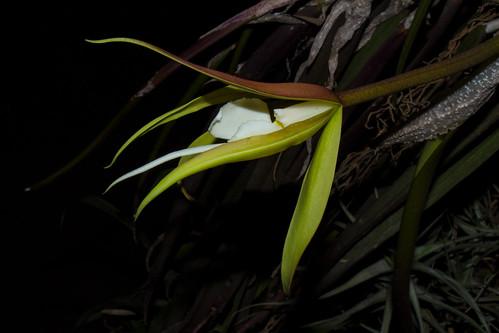 Epidendrum (Coilostylis) parkinsonianum | by Markus Branse