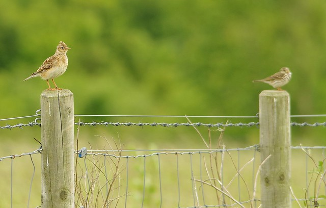 skylark and meadow pipit (2)