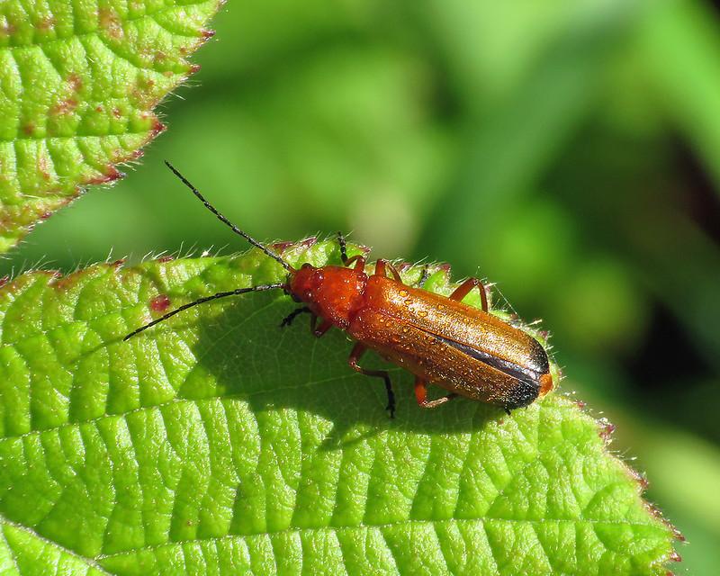 Common Red Soldier Beetle - Rhagonycha fulva
