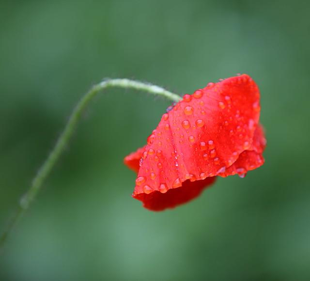 A Wet Poppy