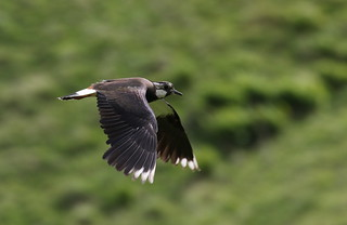 Northern Lapwing | by themadbirdlady