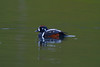 Harlequin duck // Histrionicus histrionicus // Harlekinand by charlottebh