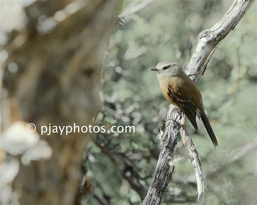 Brown-backed Chat-tyrant (Ochthoeca fumicolor) | by pjayphotos