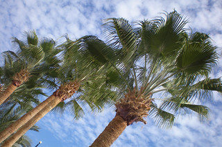 Upward view of the palm trees on the backdrop of a blue sky