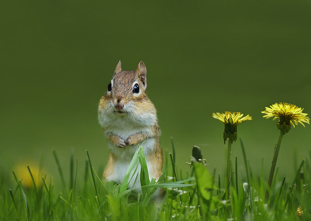 Chipmunk with fully loaded cheeks