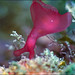 Giant Sea Hare (Aplysia extraordinaria) by Brian Mayes
