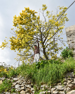 Trimming the Wattle/Mimosa (Acacia dealbata) tree near San Pietro alla Costa, on the pathway from Minori to Ravello | by Gwendolyn Stansbury