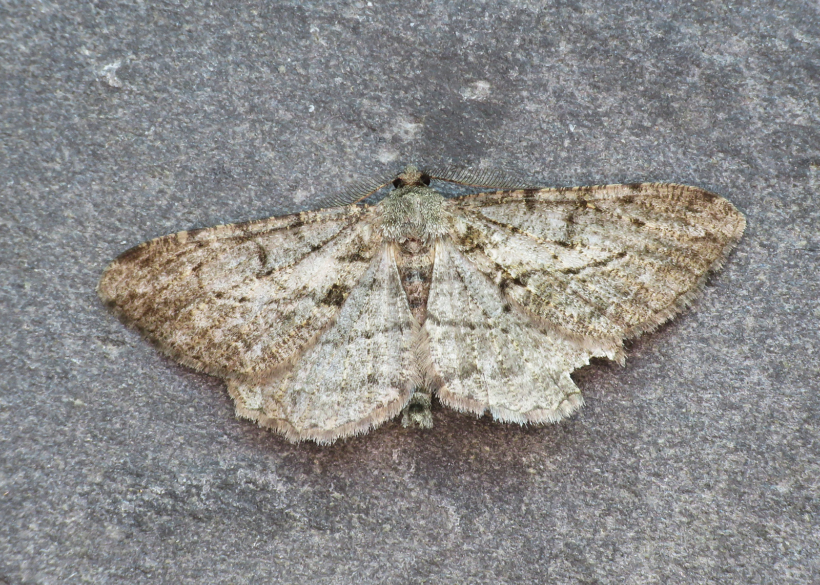 70.258 Willow Beauty - Peribatodes rhomboidaria