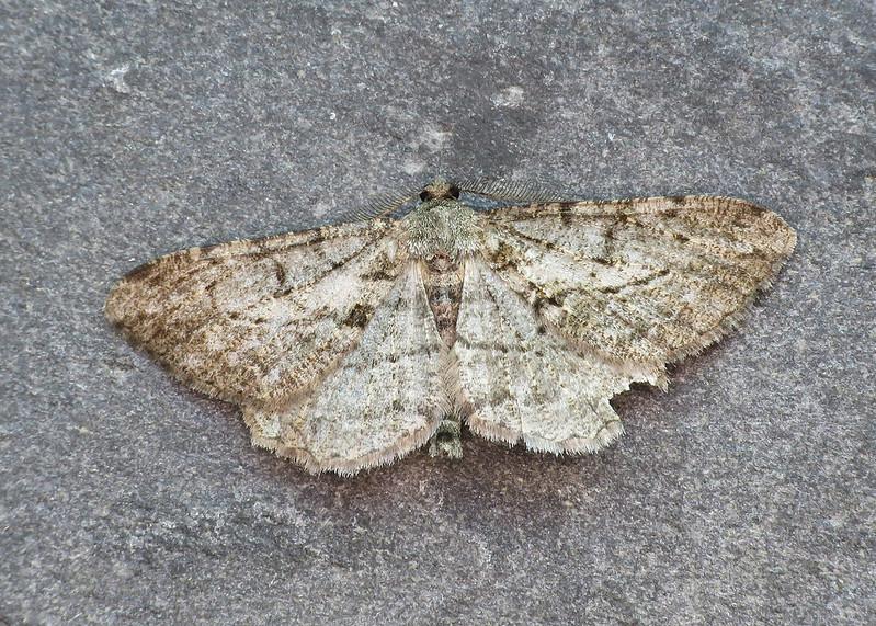 70.258 Willow Beauty - Peribatodes rhomboidaria