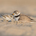 Piping plover with chick by salmoteb@rogers.com