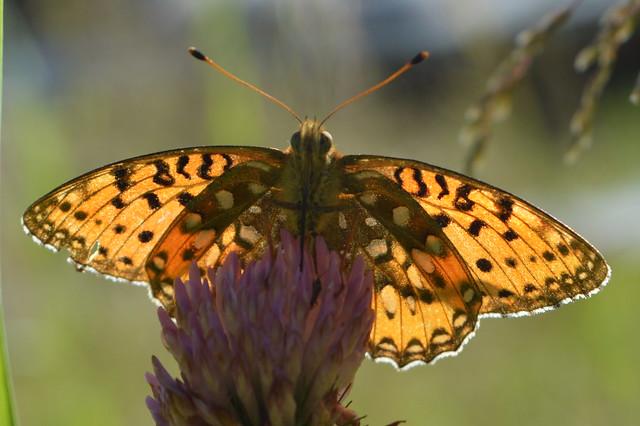 Butterfly In backlight