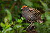 uru / Odontophorus capueira - Joinville - 21-06-15 by Jefferson Silva
