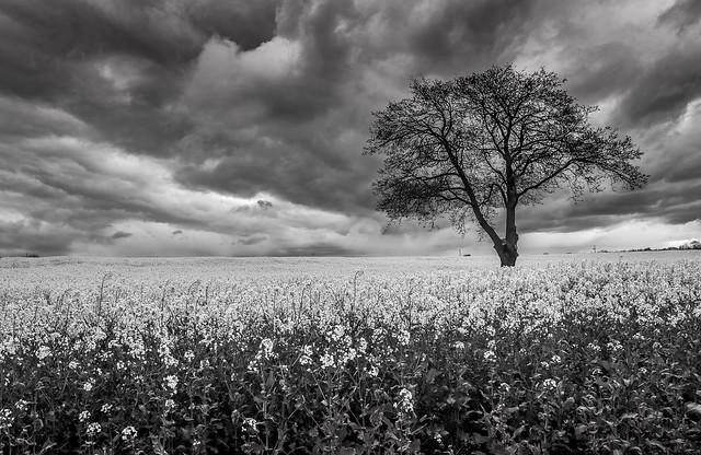 Gainford Monochrome Rapeseed Field.