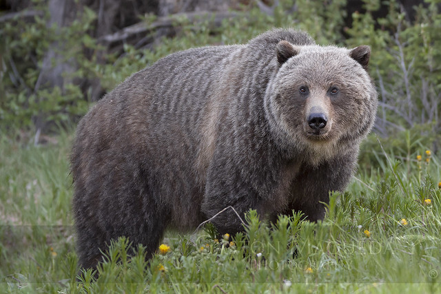 Oso Grizzly (Grizzly Bear) - Kananaskis Country - Canada