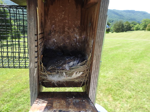 birdbox blue bluebird easternbluebird albemarle virginia pvcc piedmontvirginiacommunitycollege mountains hills landscape appalachians appalachian grass green field hill wildlife nature outdoors outside creature animal birdwatching bird birds birder birding