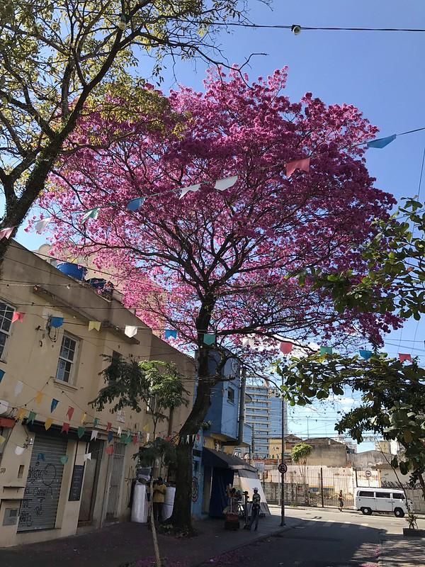 The ipê-rosa, São Paulo (winter), Brazil.