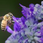 Bee on Purple Salvia